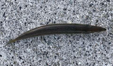 170817-1-15-kamasu-senaka-sabappoi